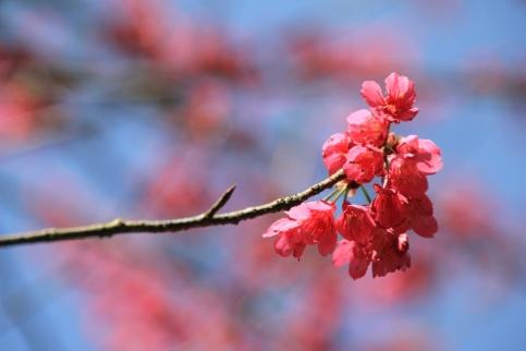 呈鐘形的鐘花櫻桃